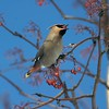 Bohemian Waxwing  fueling up on Mountain Ash berries before heading back North [April; Duluth, Minnesota]