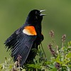 Male Red-winged Blackbirds show their red epaulats when defending territory and attracting mates [June; Martin County, Minnesota]