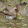 Pyrrhuloxia bathing [April; Sick Dog Ranch near Alice, Texas]