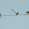 """Migrating Scissor-tailed Flycatchers squabble over their """"telephone wire territory' in south Texas [April; Rio Grande Valley, Texas]Rio Grande Valley, Lower Rio Grande Valley, Texas bird"""