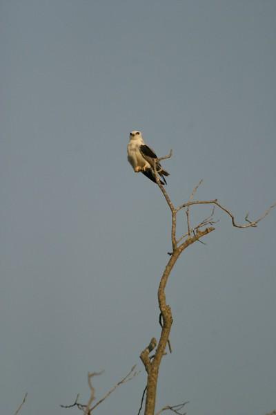 Perched White-tailed Kite [April; Pharr, Texas]Rio Grande Valley, Lower Rio Grande Valley, Texas bird