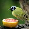 Green Jays do come to feeders [February; Laguna Atascosa NWR, Texas]
