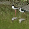 Black-necked Stilt [April; Anahuac National Wildlife Refuge, Texas]
