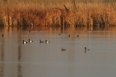 Prairie Potholes are incredible waterfowl production areas [April; Douglas County, Minnesota]
