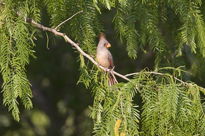 Pyrrhuloxia [April; Sick Dog Ranch near Alice, Texas]