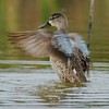 Shaking out the feathers; Blue-winged Teal [April; Krenmueller Farms, Lower Rio Grande Valley, Texas]