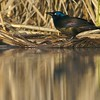 Common Grackle from the floating blind [May; Tobin-Kimmes wetlands,  Douglas County,  Wisconsin]