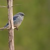 A migrating Mountain Bluebird pauses in Yellowstone [September; Yellowstone National Park, Wyoming]