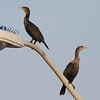 Pair of Double-crested Cormorants [September; Duluth, Minnesota]
