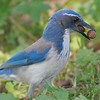 Western Scrub Jay hoarding acorns [March; Goleta, California]
