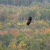 A near-adult Bald Eagle moves south over a northern Minnesota forest [September; Hawk Ridge, Duluth, Minnesota]