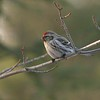 Common Redpolls feed on birch and alder seeds, catkins and weed seeds in the wild but relish thistle and sunflower seeds at backyard feeders in winter [March; Common Redpoll Skogstjarna Carlton County, Minnesota]