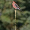 Pine Grosbeaks come south to northern states in winter [March; Sax-Zim Bog, Minnesota]