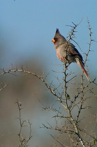Pyrrhuloxias resemble Cardinals but are restricted to Texas, Arizona and New Mexico [February; Sick Dog Ranch near Alice, Texas]Pyrrhuloxia [February; Sick Dog Ranch near Alice, Texas]