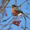 An early-returning American Robin survives an April snowstorm by feeding on Mountain Ash berries [April; Duluth, Minnesota]
