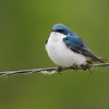 Tree Swallow on a blustery spring day; feeding low to the ground [May; Moose Lake Sewage Ponds, Carlton County, Minnesota]
