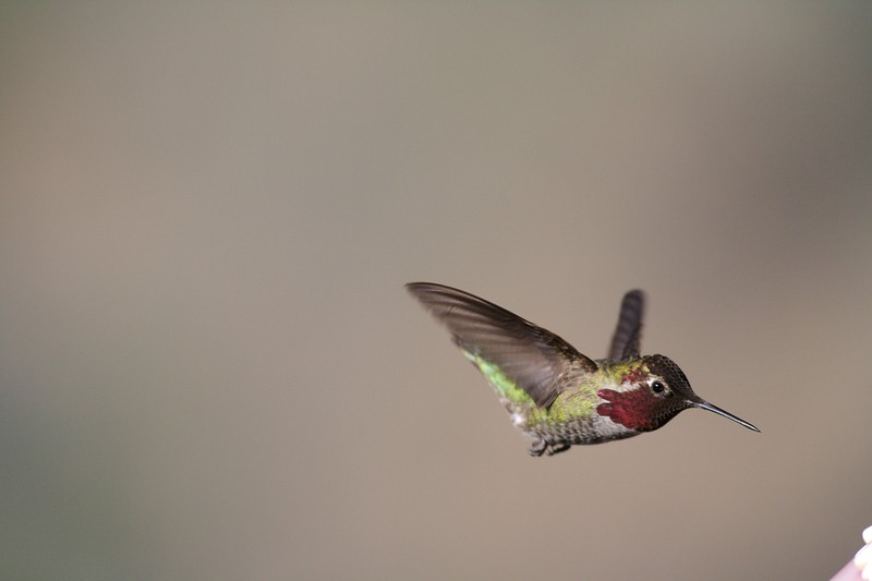 Anna's Hummingbird [March; near Kernville, California]