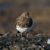 Black Turnstone [March; Ventura, California]