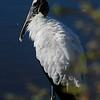 Wood Stork at Ding Darling Reserve [December; Sanibel Island, Florida]