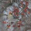 Pine Grosbeaks favor mountain ash berries, crabapples and ash seeds in winter [January; Lake County, Knife River, Minnesota]