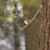 Common Redpolls often come to thistle feeders in winter [March; Skogstjarna, Carlton County, Minnesota]