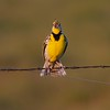 True prairie grassland birds, Western Meadowlarks sing from fences, wires, posts and snags [June; Rock County, Minnesota]