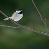 Black-capped Chickadee [February; Sax-Zim Bog, Minnesota]