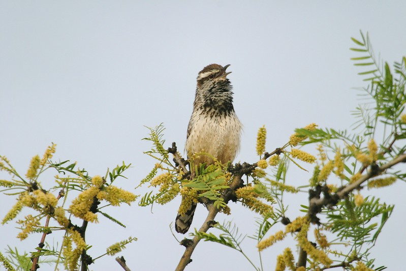Cactus Wren declaring his territory (and attracting a mate?) from a blooming Mesquite [April; Big Bend National Park, Texas]