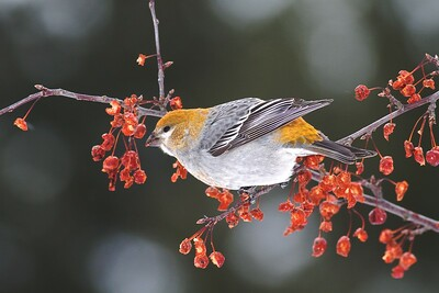Pine Grosbeaks breed in Canada and Alaska but may winter further south. They eat ash seeds, sunflower seeds, and fruit—in this case flowering crabapples [January; Wrenshall City Park, Wrenshall, Minnesota]
