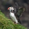 Iceland is home to many colonies of Atlantic Puffins. This one is just returning from a feeding foray [July; Ingleshofi, Iceland]Atlantic Puffin colonies are made up of breeders and non-breeders. It may take up to seven years for a male to dig his nuptial burrow and breed! [July; Inglshofi, Iceland]