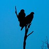 Harris's Hawks are cooperative hunters [February; Sick Dog Ranch near Alice, Texas]