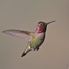 Anna's Hummingbird [March; near Kernville, California]