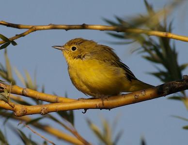 Fall warbler [August; Park Point, Duluth, Minnesota]
