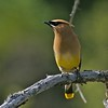 Cedar Waxwing [July; Cook County, Minnesota]