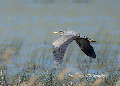 Great Blue Heron taken in southern Manitoba