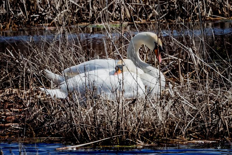 Mute Swan nesting on the martsh