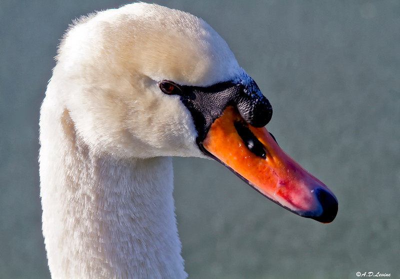 _MG_4691 adj swan head large