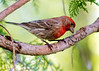 1203 red finch