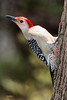 Red-Bellied woodpecker MG_2289