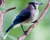 2598 Blue Jay