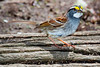 _White throated sparrow MG_2281