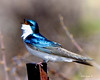 _MG_4971  tree swallow