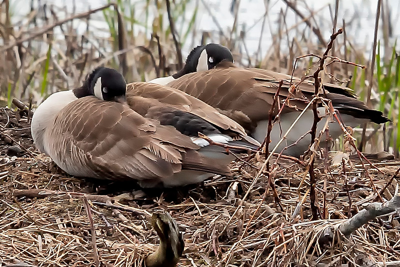 Canada Geese nesting on Bashakill