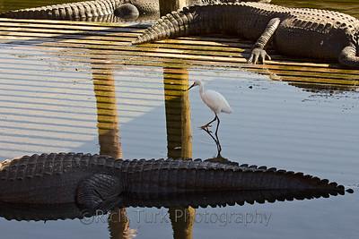 Snowy Egret, American Alligator