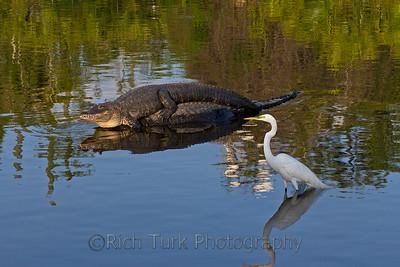 Great Egret, American Alligator