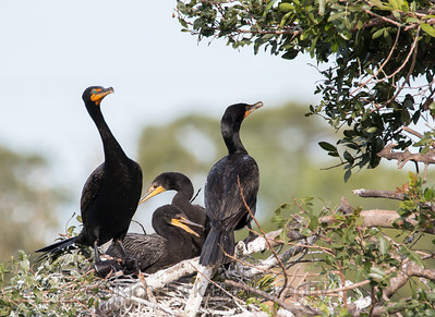 Double Crested Cormorants  on nest with  young
