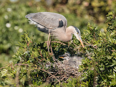 Mother heron about to preen new hatchling