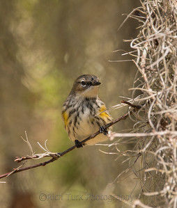 Yellow Rumped Warbler (Female)