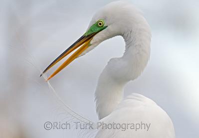 Great Egret in breading plumage
