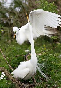 Great Egrets nest building